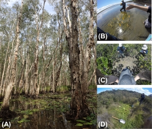 Figure 1: (A) Melaleuca Swamps in Warm, Humid Temperate Australia. (B-D) Seagrass, mangrove saltmarsh (blue carbon) wetlands, respectively, in Temperate Australia.