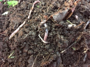 Collected earthworms. Will they like the tundra as much as the boreal forest/mires/agricultural soils?