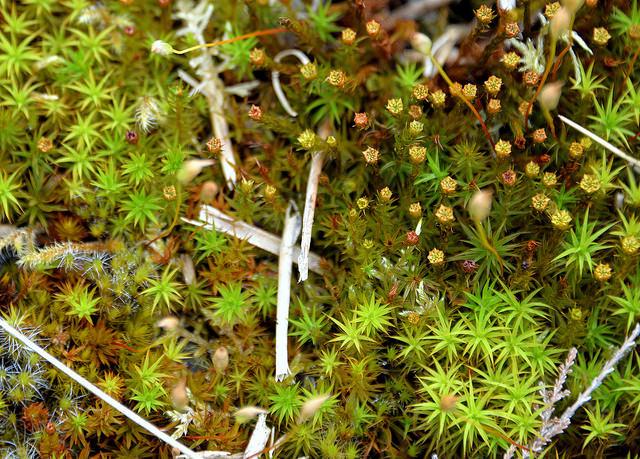 Keith Ewing Sphagnum Sphagnum, the start of peat, Deerpark (Magheraghanrush), Calry, Co. Leitrim
