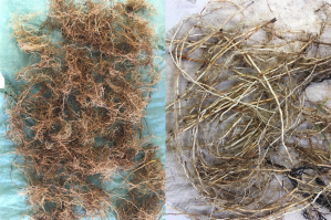 The exciting part of this root sorting. Lots of roots from drained (left) and re-wetted (right) alder carr. Look, how different the roots are in these ecosystems.