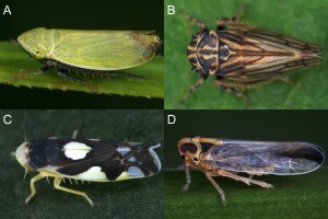 A few of the more abundant leafhopper species in our samples, feeding on different plant types. A) Verdanus abdominalis, a grass feeder. B) Anaceratagallia venosa, which mainly feeds on legumes, but also on some forbs. C) Eupteryx notata, a species feeding on forbs. D) Kelisia monoceros, a sedge feeder. Photo credit: Gernot Kunz.