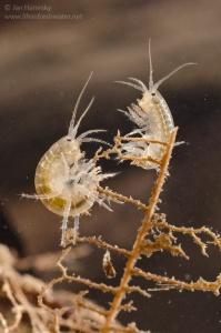 Scuds (Gammarus sp.)