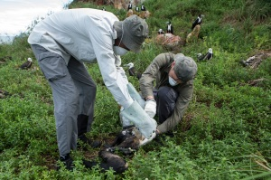 Manrico Sebastiano (on the right) during the manipulation of a sick frigatebird chick to administer antioxidants.Picture taken by Nicolas Defaux