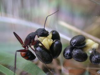Worker of the ant species Camponotus cruentatus trying to remove H. foetidus diaspores in a cafeteria experiment designed to evaluate ant-seed dispersal rates.