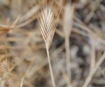 Spikelet of the allotetraploid B. hybridum