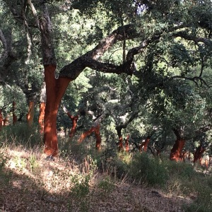 Mediterranean cork oak (Quercus suber) forests located in Spain and Portugal provide multiple ecological and socio-economical services, many of which are at risk by the combined effect of land use intensification, fire, climate change, and invasive species.