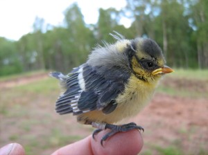 Blue tit nestling at two weeks of age.