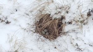 lark nest in the snow750
