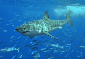 Great white shark at Isla Guadalupe, Mexico, August 2006. Shot with Nikon D70s in Ikelite housing, in natural light. Animal estimated at 11-12 feet (3.3 to 3.6 m) in length, age unknown (source Wikipedia Commons).