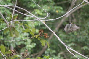 Grey kingbird carrying a fruit of Cupania americana