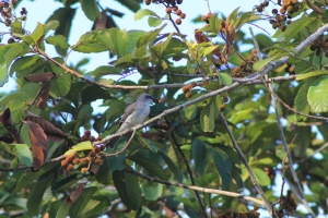 Grey kingbird eating fruit of Cupania americana