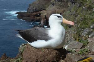 Albatross. Photo by Henri Weimerskirch.