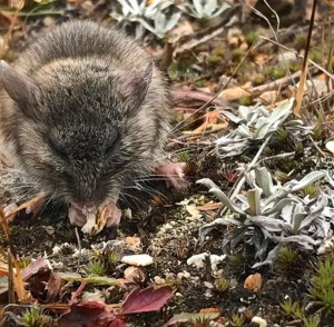 Deer mouse eating