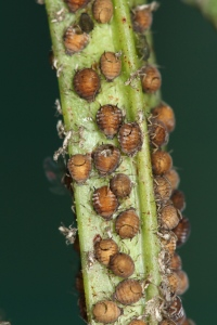Mummified aphids show the deadly efficiency of parasitoid wasps.