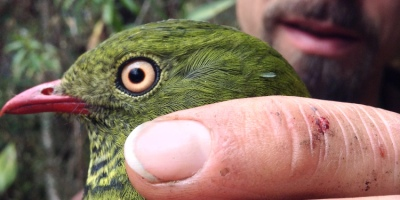Micah Scholer with female Barred Fruiteater (Pipreola arcuata)
