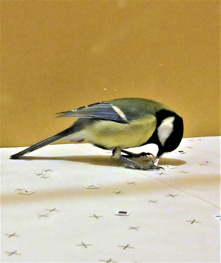 Great tit foraging in novel world that contains artificial prey items with cross and square symbols.
