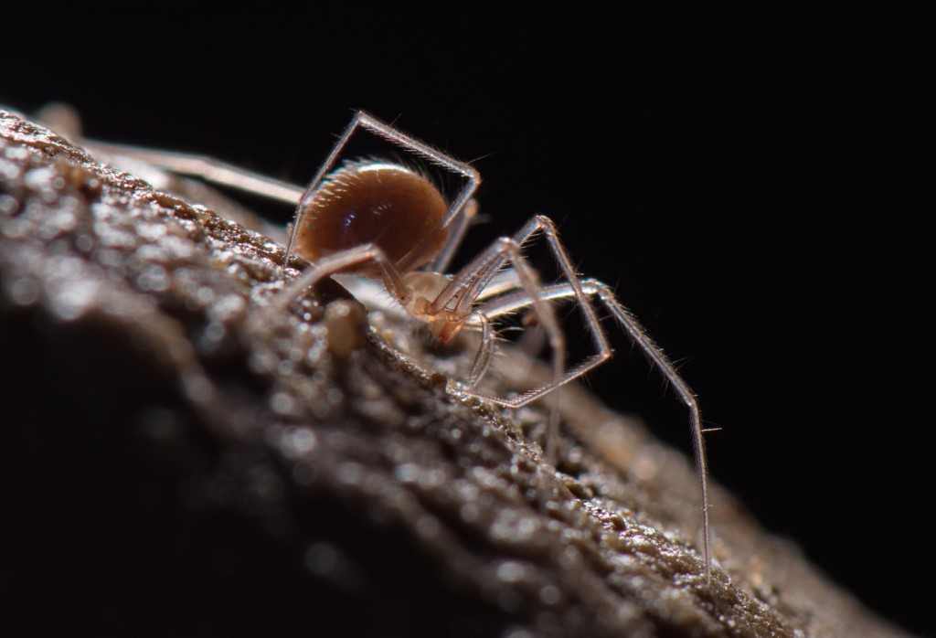 A cave-dwelling spider of the genus Troglohyphantes. Photo courtesy of Francesco Tomasinelli (http://www.isopoda.net/).