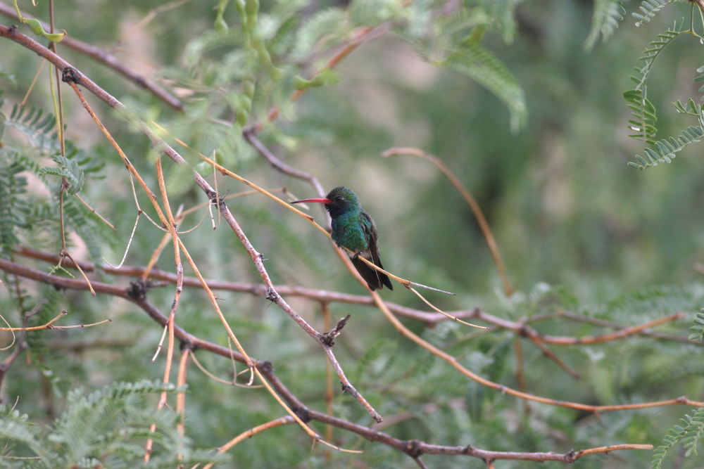 Hummingbird in a tree.