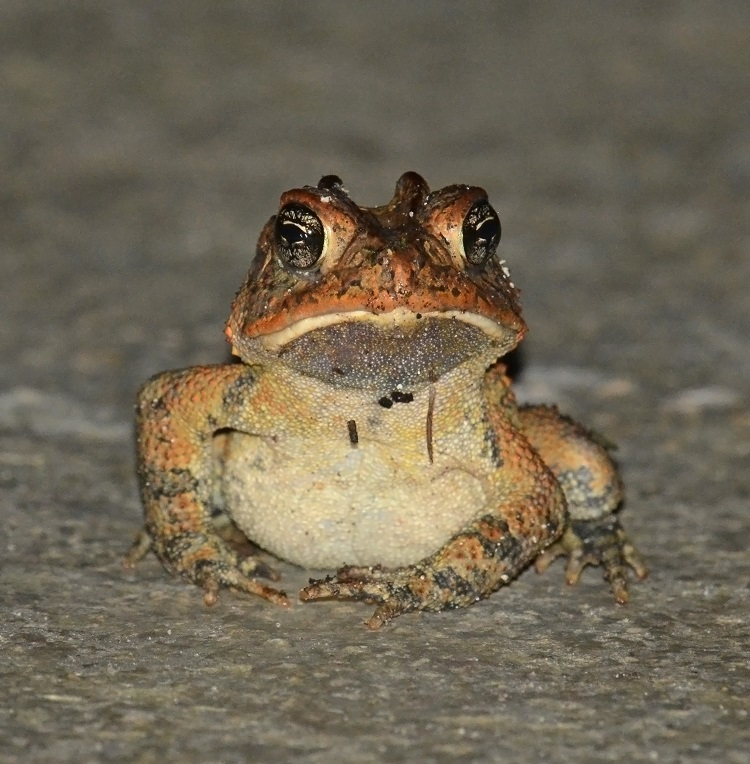 Southern toad. Photo credit: Jeremy Cohen