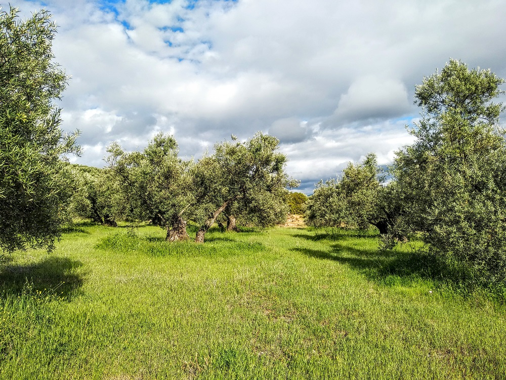Organic olive orchard