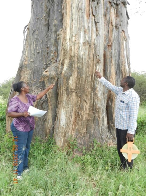 Upendo Msalilwa and field assistant (Emilian Mayemba) assessing the baobab elephant debarking in Tarangire National Park, Tanzania (Photo by Geofrey Soka).