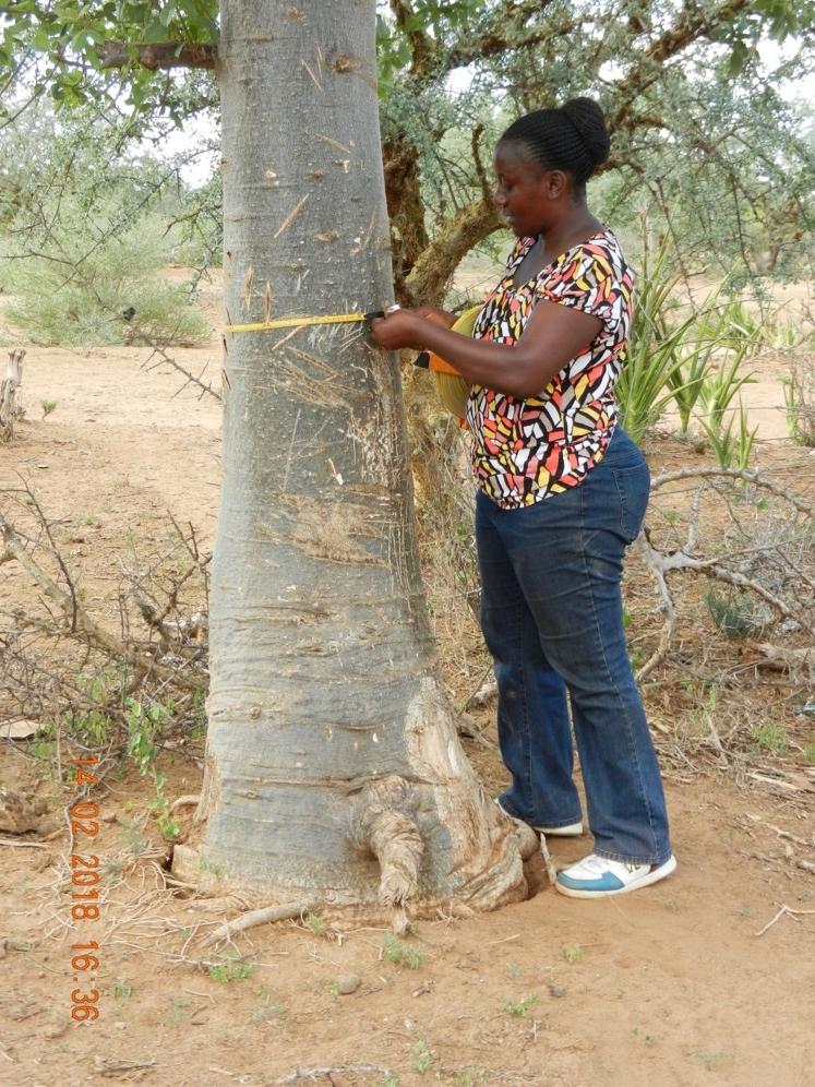 Upendo Msalilwa measuring the Diameter at Breast height of the baobab in Kilimanjaro region, Tanzania (Photo by Geofrey Soka)