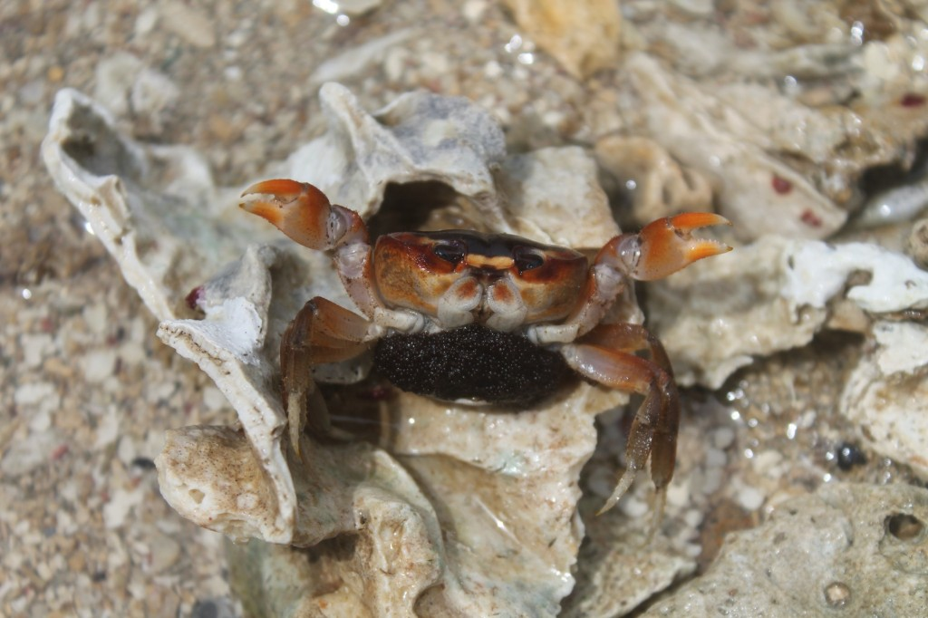 Gravid (egg-carrying) land crab Gecarcinus ruricola.