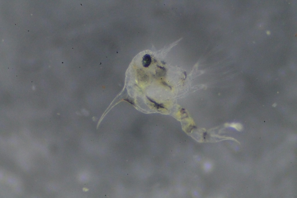 A mostly transparent and a more pigmented plankter. Left: zoea 1 larva of the crab Hemigrapsus oregonensis.