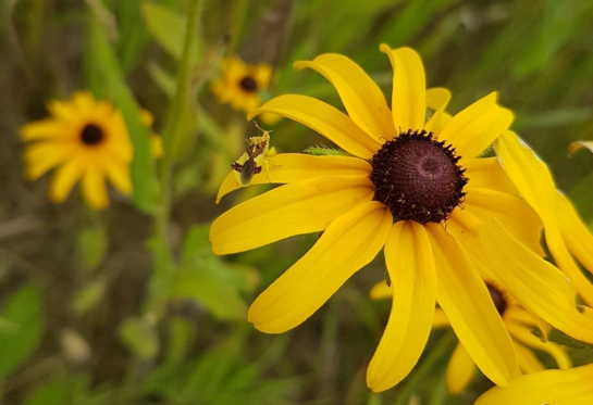 An ambush bug waits on the petals of a Black-Eyed Susan. Its colour is a similar yellow to the petals, increasing the likelihood it will catch unsuspecting prey. Credit: Julia Boyle