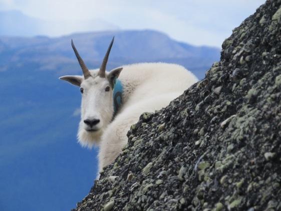 My favorite goat, nanny number 418 behind a rock. Credit Frédéric Dulude-de Broin