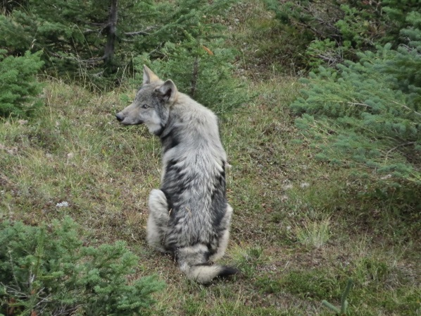 Wolf spotted near the group of goats. Credit: Frédéric Dulude-de Broin
