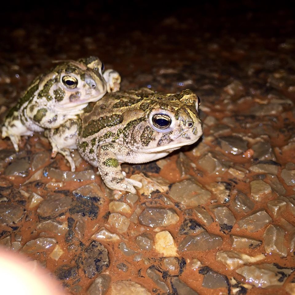 Pictured are two Great Plains toads (Anaxyrus cognatus) moving across a dirt road during a rainstorm. Photo credit: Elizabeth Mendoza