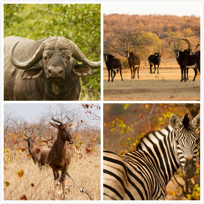 Photos of some animals in Africa (photo by Jasper Eikelboom; the zebra, buffalo and tsessebe were all photographed in Kruger National Park, South Africa and the sabels in Welgevonden Game Reserve, South Africa)