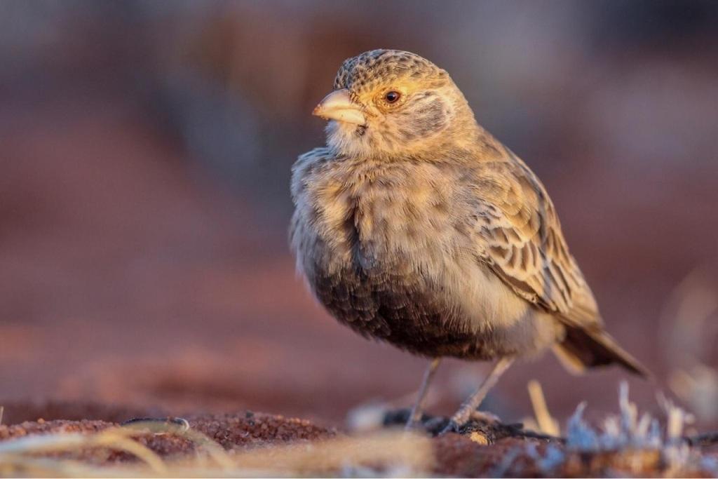 Zenon Czenze - Grey-backed sparrow-lark (photo by Marc Freeman)