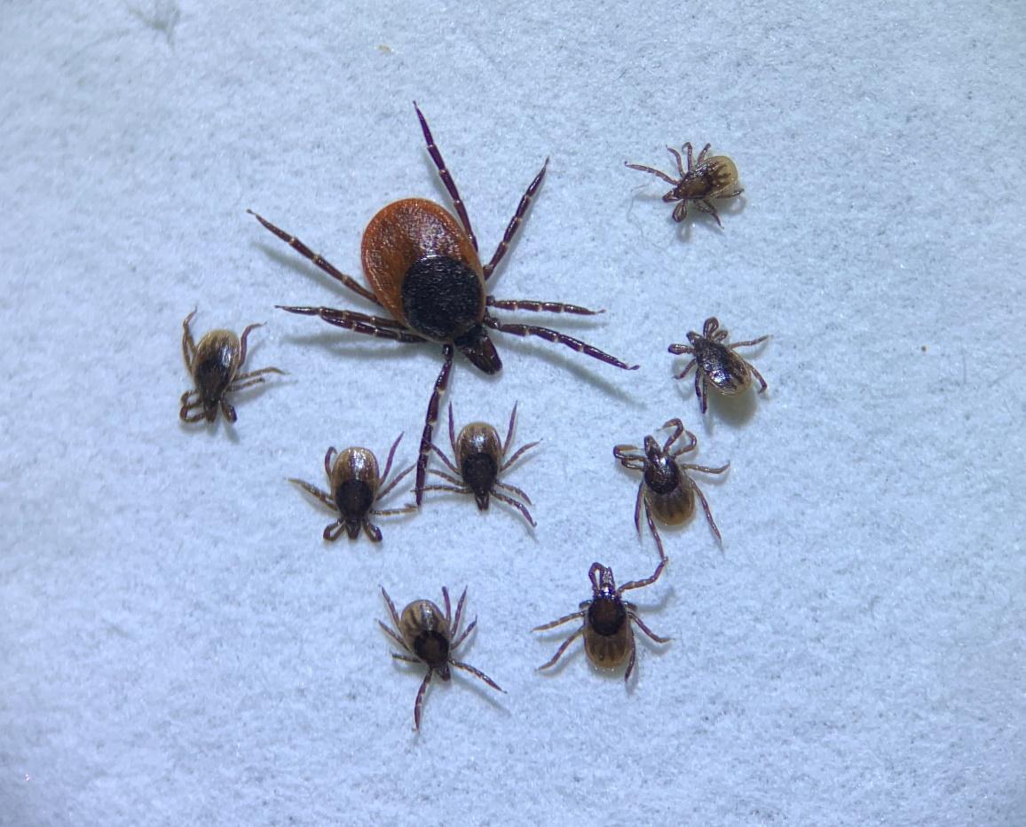 Ixodes ricinus female and 8 I. ricinus nymphs (© University of Leipzig).