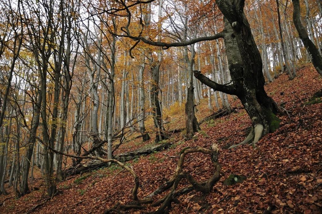Beech forest in Bieszczady Mountains. Photo Credit: Julia & Staszek Pagacz.