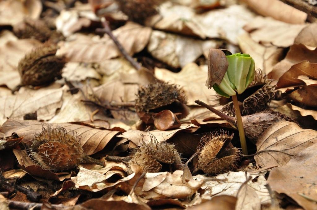 Beech seedling. Photo Credit: Julia & Staszek Pagacz.