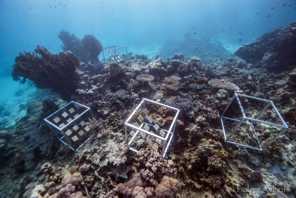 Experimental settlement tiles made of calcium carbonate deployed at Abu Shosha reef in the central Red Sea, Saudi Arabia. [Photo credit: Dr. Holger Anlauf]
