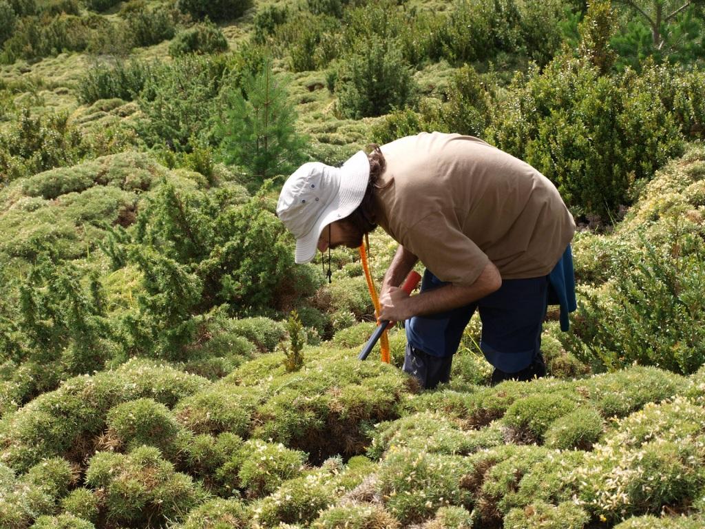 Hugo looking for hidden boxwood seedlings in Ordesa and Monte Perdido National Park.