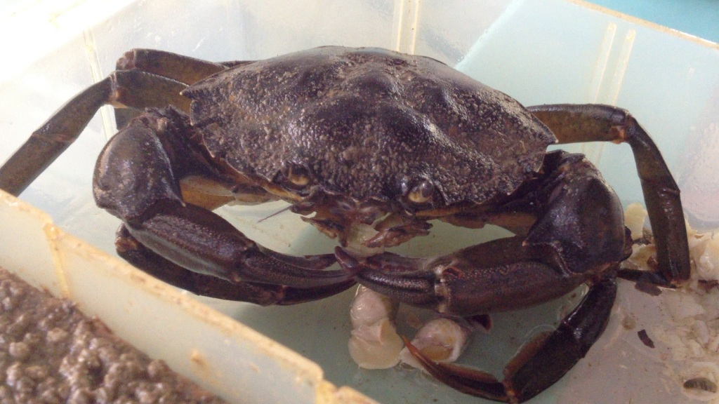 Green crabs eat and scare Nucella, but the paper by Donelson et al. shows that male and female Nucella respond differently to green crabs. Photo Credit: Sarah Donelson.