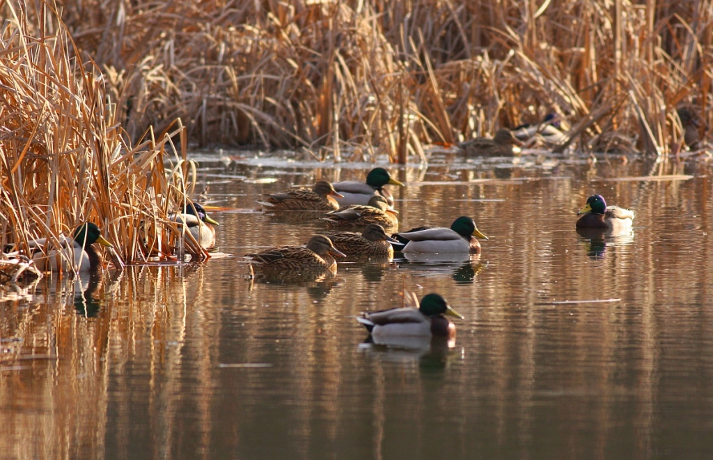 Group of male and female mallards (Anas platyrhynchos). Mallards have been found to disperse many different seeds via gut passage (Author: Nicky Petkov)