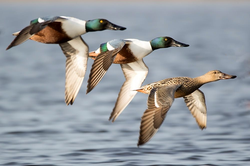 Group of flying Northern shovelers (Spatula clypeata). Northern shovelers have been found to disperse many different seeds via gut passage (Author Sándor Borza)