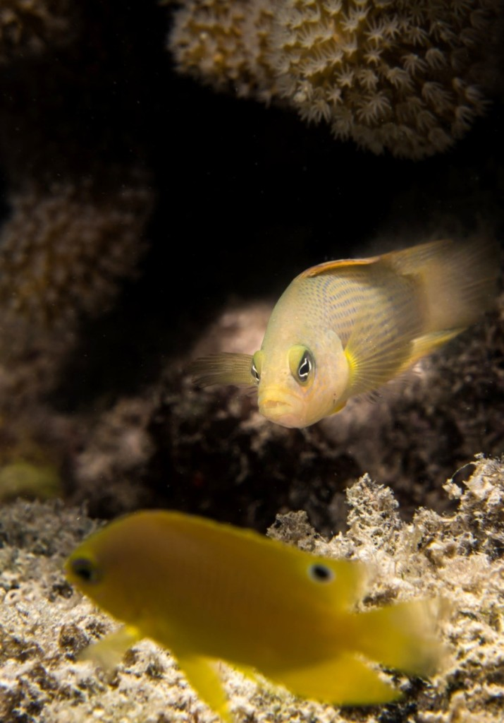 A predatory dottyback (background) and a damselfish (closer up). Photo courtesy of Chris Mirbach