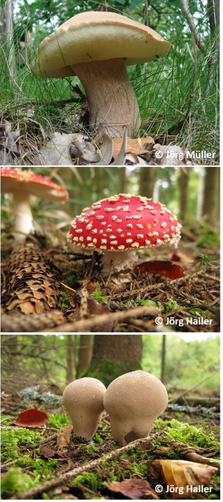 Fruiting bodies of ectomycorrhizal and saprotrophic fungi similar to those analysed along with gnat larvae living and feeding inside. Photo credits: Jörg Müller, Jörg Hailer.
