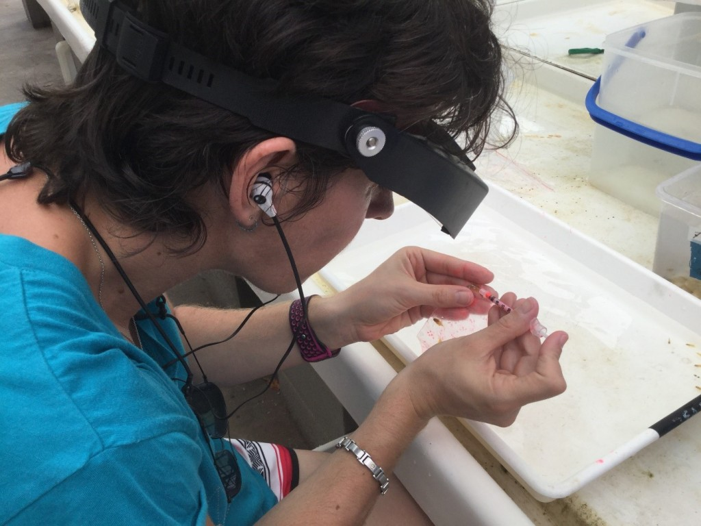 I'm inserting an elastomer tag in a juvenile damselfish, so they can be identified in the field once released. Photo courtesy of Doug Chivers.