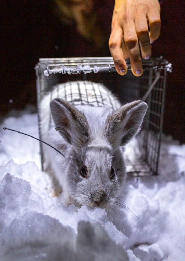 Snowshoe hare being released from a trap. Photo credit: Symon Ptashnik