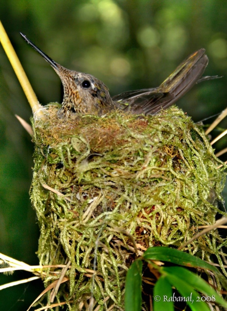 A hummingbird in a living nest made of mosses and ferns (credit Felipe Rabanal).