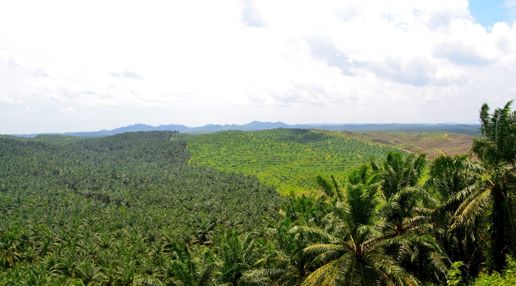 Oil palm plantation in the South-East of Sabah, showing the different stages of oil palm tree growth from first planting to mature trees. Embedded rainforest remnants can be seen on the horizon.