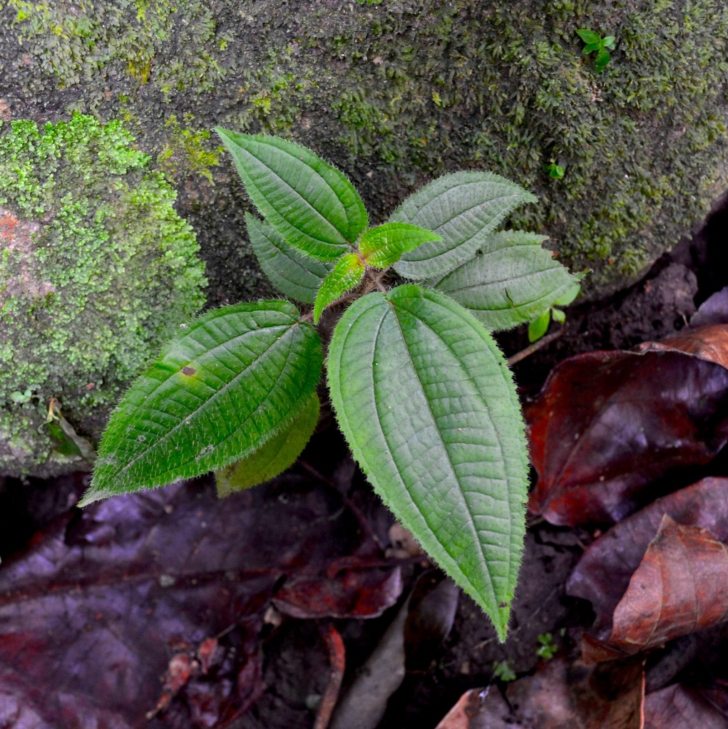 The most common exotic species, invasive shrub Clidemia hirta, found inside rainforest remnants in Sabah.