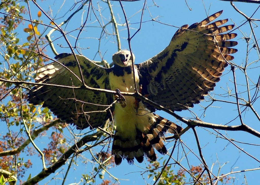 The infamous Harpy Eagle (Harpia harpyja) that attacked Henry during his dissertation fieldwork. Photo credit Torrey Rodgers, 2011.